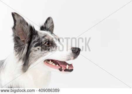 Up Close You Can See The Head Of A Dog With An Open Mouth And High Ears, And He Is Looking Diligentl