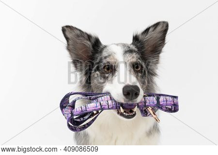 A Trained Dog Waits Politely And Holds A Leash In Its Mouth Because It Wants To Go For A Walk. Borde