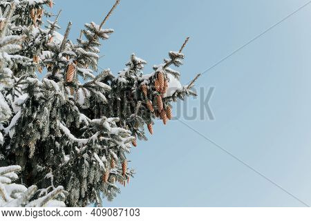 Christmas Tree With Cones Covered With Snow. Sunny Winter Day In The Forest.