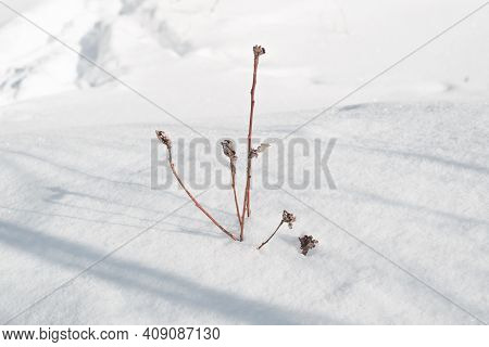 Dry Wildflower In A Snowdrift. Snowy Winter Sunny Day. Photo With Mood. Selective Focus