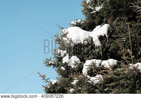Christmas Tree Covered With Snow, Cones And Icicles. Sunny Winter Day In The Forest.