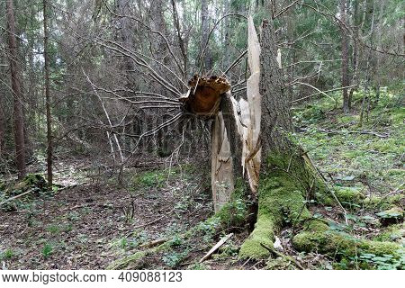 Fallen Spruce Tree After The Storm. Latin Name Of Spruce: Picea Abies