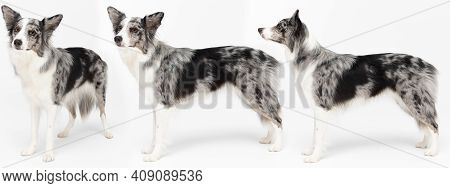 In One Panoramic Frame The Same Dog In Many Standing Poses Seen From The Side. Border Collie Dog. A