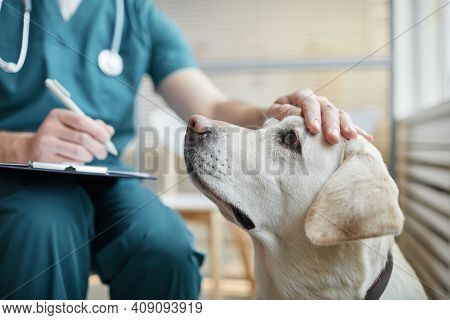 Close Up Of White Labrador Dog At Vet Clinic With Male Veterinarian Stroking His Head, Copy Space