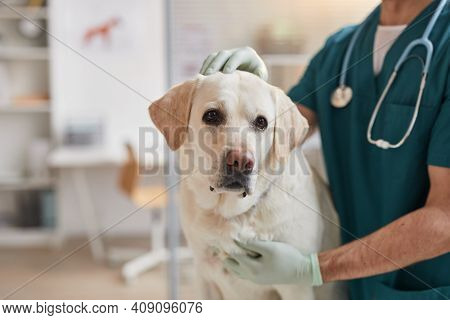 Cropped Portrait Of Male Veterinarian Stroking White Labrador Dog At Vet Clinic, Copy Space