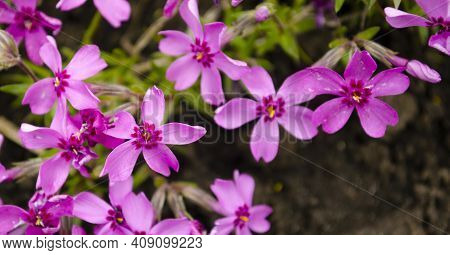 Macro Photo Nature Lilac Wild Phlox Subulata Flower. Texture Background Blooming Phlox Subulata Wild