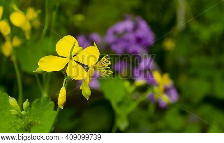 Greater Celandine Chelidonium Majus, Tetterwort, Nipplewort Or Swallowwort . Close Up Yellow Celandi