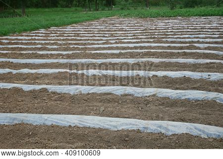 Polyethylene Transparent Film Is Laid With Rows On The Rampart Furrow Wall Topsoil For Future Planti