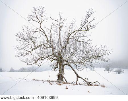 Old Tree In Silent Winter Landscape. Snowy Field, Hazy Winter Scene