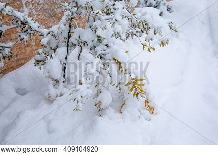 Winter Morning Snow Covered Bush With Yellow Leaves In Athens, Greece, 15th Of February 2021.