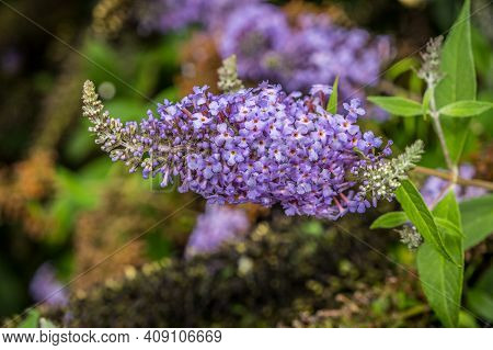 A Closeup View Of A Light Purple Color Blossom With Little Clusters Of Flowers Still Opening On A Br