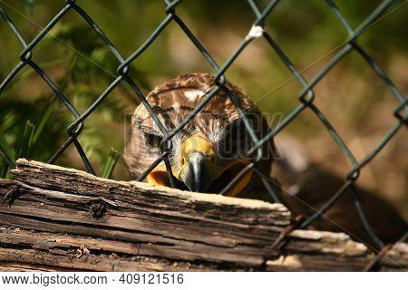 July,25,2020, Poland-ustron-slaskie. Park Of Forest Surprises - Beauty Raptor Bird