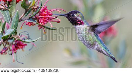 Anna\'s Hummingbird Adult Male Hovering And Sipping Nectar. Santa Cruz, California, Usa.