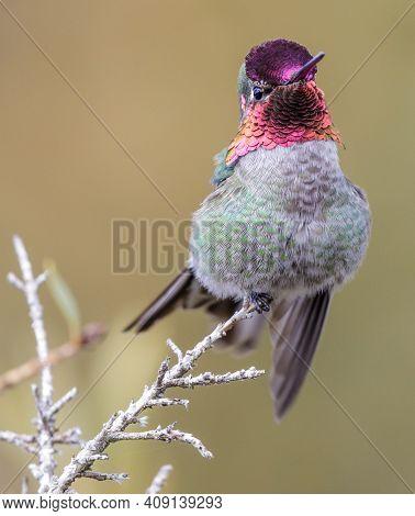 Anna\\\'s Hummingbird adult male. Santa Cruz, California, USA.