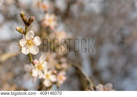 Blooming Almonds In The Garden. The Concept Of Freshness, The Onset Of Spring. Layout Of A Spring Gr