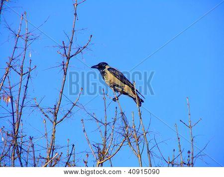 Jackdaw, Corvus Monedula