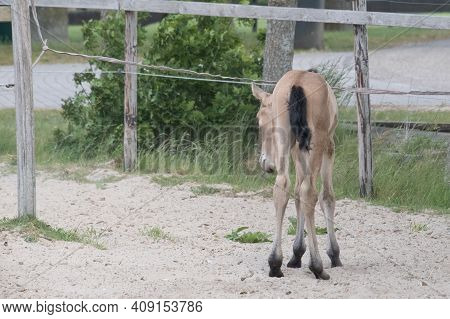 Young Newborn Yellow Foal With A Black Mane And Tail, Curiously Standing In A Paddock In The Sand. B