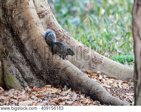 A Red Bellied Tree Squirrel Or Pallas's Squirrel, Callosciurus Erythraeus, On The Trunk Of A Tree In