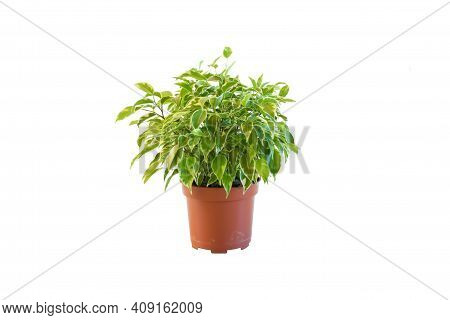 Plant, Nature. Kamerplant Ficus Kinky Plant  Small Size Grow And Blooming In Pot On White Bacground