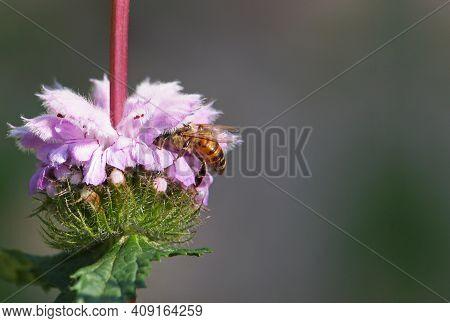 Pink Flower Of Jerusalem Sage With Bee On It, Phlomis Tuberosa