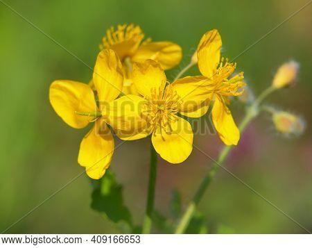 Yellow Flowers Of Greater Celandine, Chelidonium Majus
