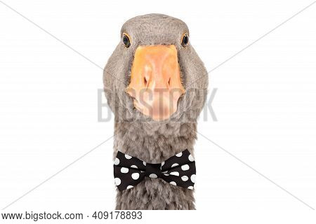 Portrait Of A Goose In A Bow Tie, Isolated On White Background