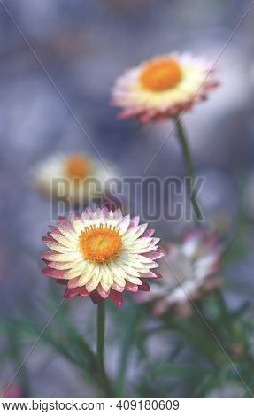 Pink And Yellow Australian Everlasting Daisy, Xerochrysum Bracteatum, Family Asteraceae. Endemic To