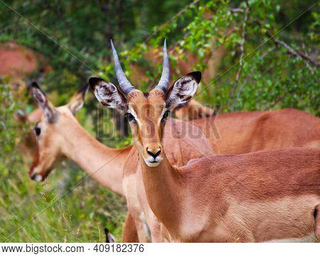 African Gazelles Huddled Together. Wildlife Savannah Life. Safari In The African Savannah. Graceful