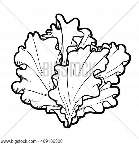 Inflorescence Lettuce Leaves Linear Drawing On White Background
