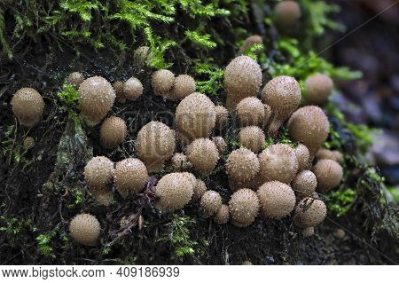 The Stump Puffball (apioperdon Pyriforme) Is An Inedible Mushroom , An Intresting Photo