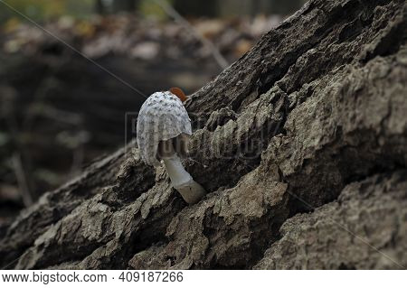 The Coprinopsis Episcopalis Is An Inedible Mushroom , An Intresting Photo