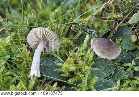 The Crazed Cap (dermoloma Cuneifolium) Is An Inedible Mushroom , An Intresting Photo