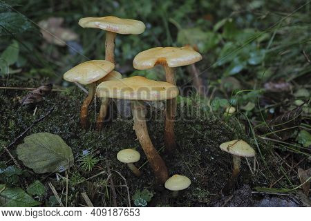 The Alder Scalycap (flammula Alnicola) Is An Inedible Mushroom , An Intresting Photo