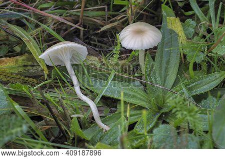 The Cedarwood Waxcap (hygrocybe Russocoriacea) Is An Inedible Mushroom , An Intresting Photo