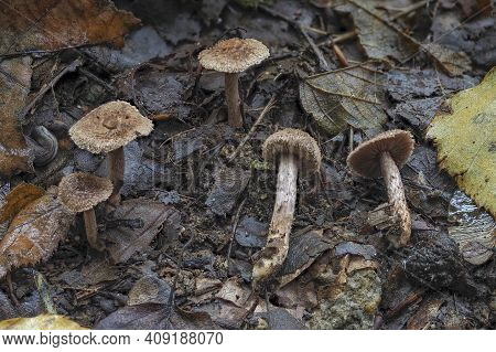 The Collared Fibrecap (inocybe Cincinnata) Is A Inedible Mushroom , An Intresting Photo