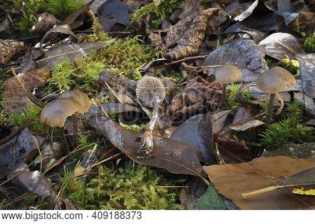 The Lyophyllum Boudieri Is An Inedible Mushroom , An Intresting Photo
