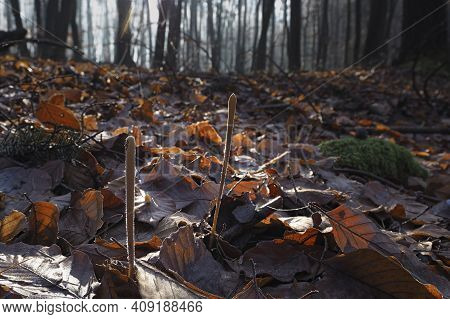 The Macrothyphula Fistulosa Is An Inedible Mushroom , An Intresting Photo