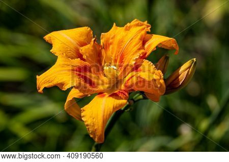 Close-up Of Hemerocallis Fulva Orange Day-lily Flower In The Summer Garden. Photography Of Lively Na