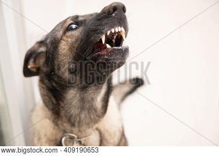 Angry German Shepherd Showing Teeth.copy Space.best Friend Concept