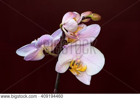 Portrait Of Pastel Rosa Cattleya Orchid Flower. Photography Of Lively Nature And Wildlife.
