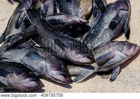 Photograph Of Freshly Caught Atlantic Black Sea Bass On The Deck Of A Boat