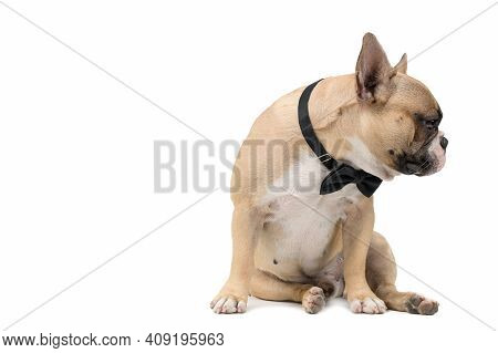 An Anorexic French Bulldog Siting On A White Background, Health Dog Concept