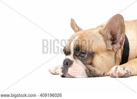 An Anorexic French Bulldog Lying On A White Background, Health Dog Concept