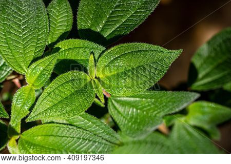 Close-up Of Clidemia Hirta, Commonly Called Soapbush Or Koster's Curse Leaves. Photography Of Lively