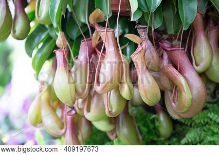 Nepenthes Nature Background. Nepenthes Nature Garden. Nature Background. Nature Background For Desig