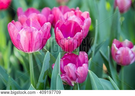 Pink Tulips Flower Nature Background. Tulips Nature Garden. Flowers Nature Background. Nature Backgr