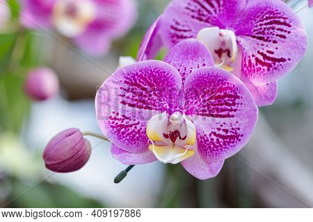 Phalaenopsis Orchid Nature Background. Orchid Nature Garden. Flowers Nature Background. Nature Backg