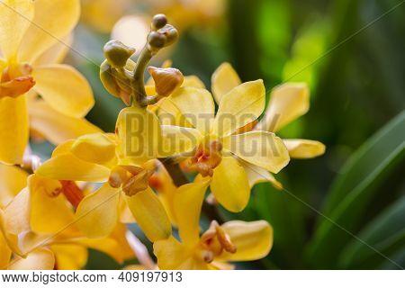 Mokara Orchid Nature Background. Orchid Nature Garden. Flowers Nature Background. Nature Background