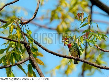 Coppersmith Barbet Or Megalaima Haemacephala Birds On Branch In Real Nature