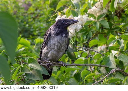 Young Crow Is Sitting On White Lilacs Bush´s Branch And Looking To Right And Is Framed With Green Li